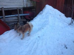 Diiva inspekterar den blivande hundhagen