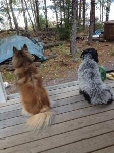 Veckoslutet tillbringades på min kära holme. Med lite extra hundsällskap. Hundarna spanar medan jag sitter och dricker kaffe i allsköns ro :)